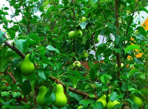 Нужно ли закапывать прививку у яблони. Для чего нужно прививать яблони?