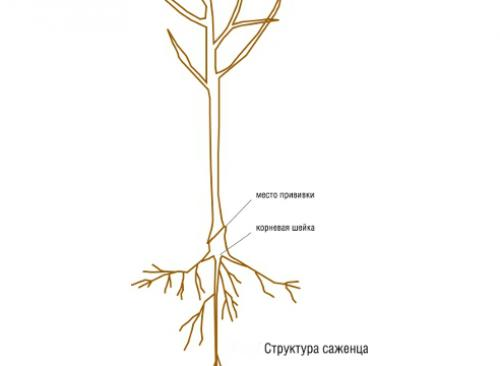 Как правильно посадить привитое дерево. Посадка яблони: как правильно